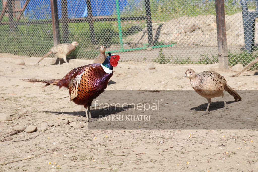 Common Pheasant Bird,Best Images for Pheasant Bird, Kalij Palan in Nepal, Common Pheasant bird , Beautiful Golden Pheasants and Wading Birds, Pheasant - Common Pheasant Bird Call