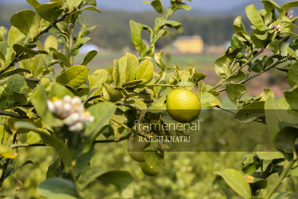 Lemon Farm , Best Images For Lemon, Lemon Farm in Nepal Lemon Farm Organic Family Food,Lemon farm - Agriculture in Nepal, sun kagati in nepal lemon farming in nepal