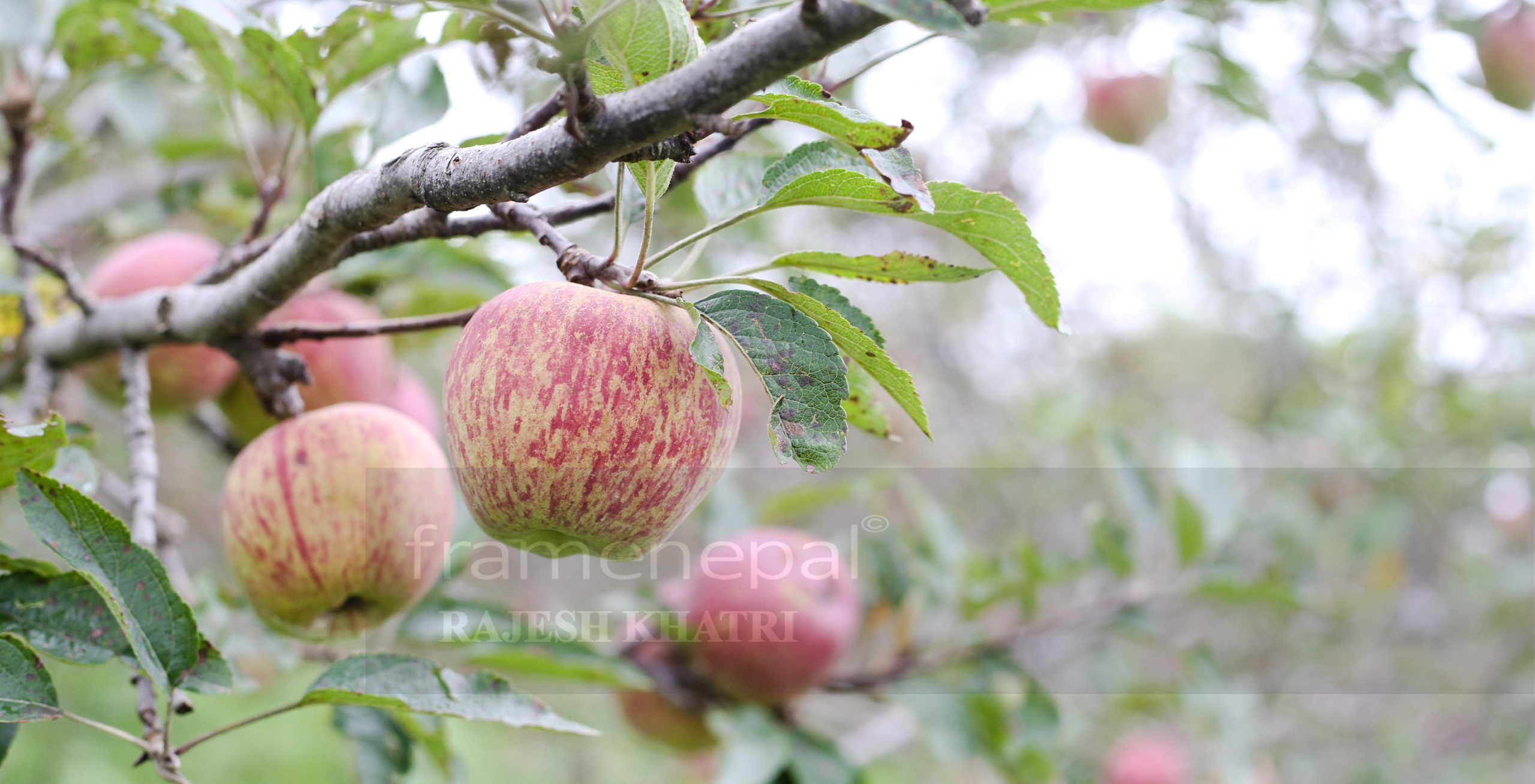 Apple farm in Rolpa,Apple farm Best Images Apple farm, Agriculture in Nepal,apple farm in nepal Apple farm in rolpa,apple production area in nepal map, apple farming in jhapa,bhratang apple farm,grapes farming in nepal,mustang apple farm,nepal apple garden,apple farm video, dragon fruit farming in nepal,