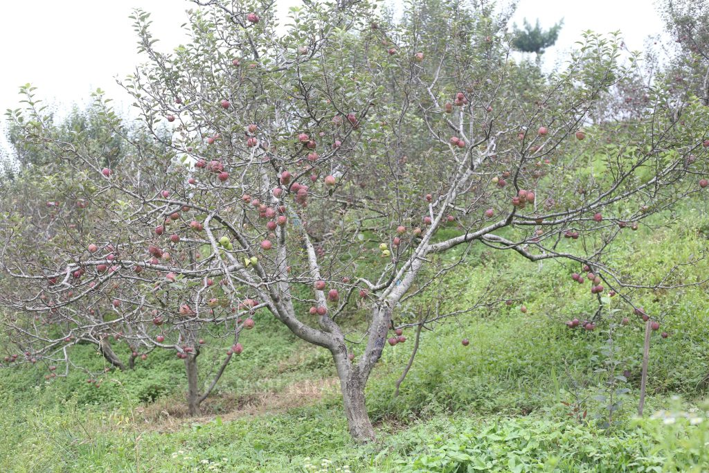 Apple farm in Rolpa,Apple farm Best Images  Apple farm, Agriculture in Nepal,apple farm in nepal Apple farm in rolpa,apple production area in nepal map, apple farming in jhapa,bhratang apple farm,grapes farming in nepal,mustang apple farm,nepal apple garden,apple farm video, dragon fruit farming in nepal,