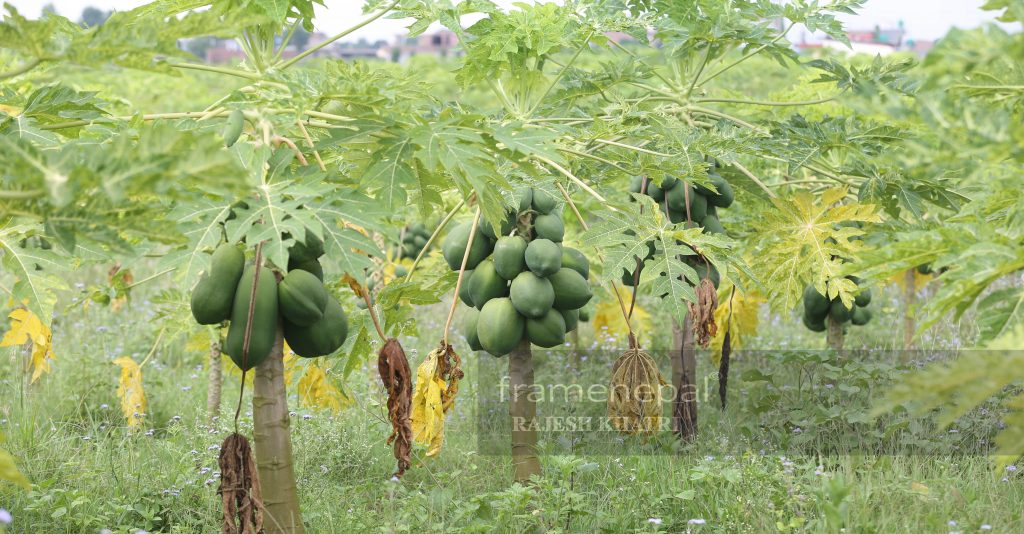 Nepal Ma Mewa Kheti,Papaya farming in Nepal, papaya production in nepal, red lady papaya in nepal, papaya seeds in nepal, papaya cultivation ppt, commercial papaya farming pdf best intercrop for papaya, papaya production technology, papaya pdf, red lady papaya in nepal, Papaya farming in Nepal, Kul Bahadur Dangi, Tulsiram KC, Red lady 786, papaya farming in dang, mewa kheti dang, dang ma mewa kheti, papaya farming in nepal, dang papaya farm, papaya variety red lady, Papaya Farming Business Plan, Full Detail of Papaya Farming, The Success Story of papaya Farming, papaya variety red lady in nepal, papaya red lady in nepal, papaya farming,