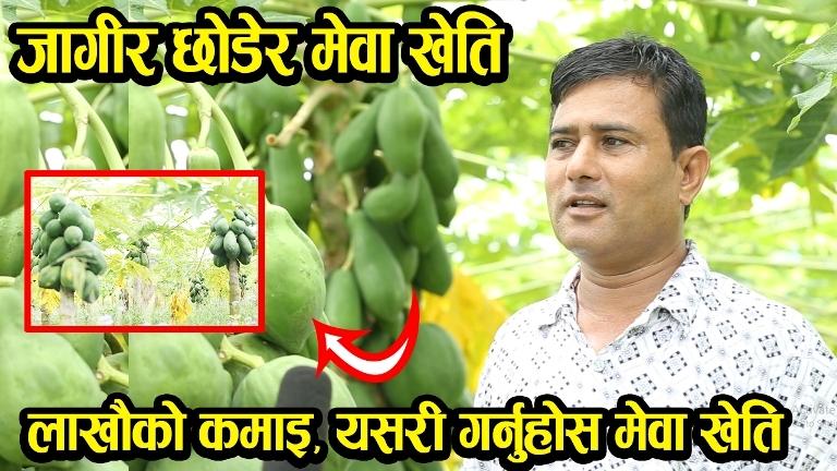 Nepal Ma Mewa Kheti, Papaya farming in Nepal