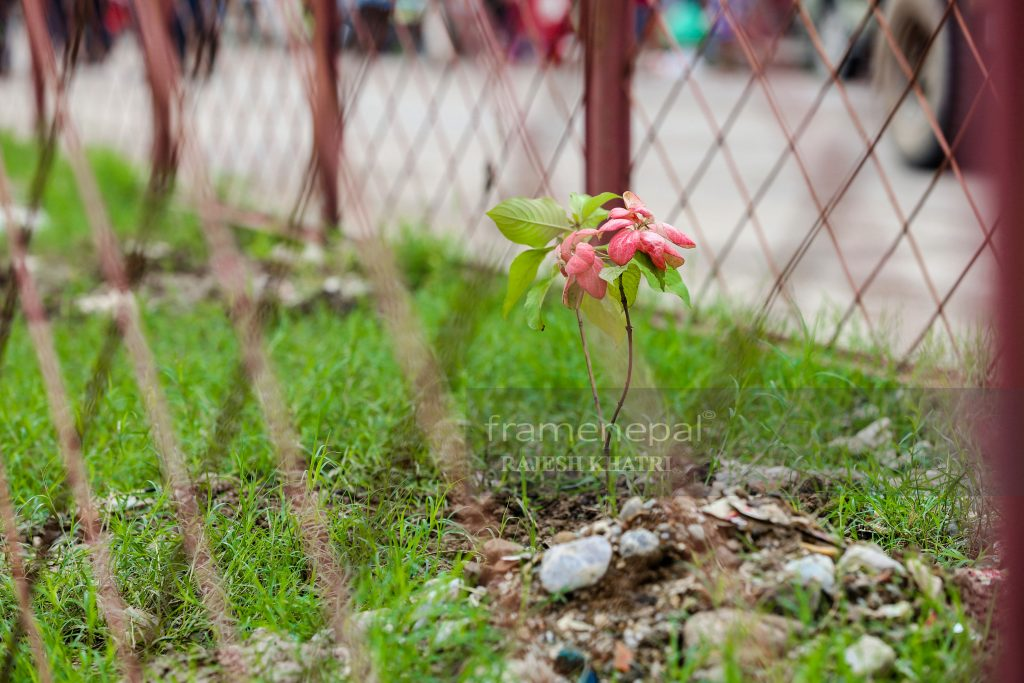 Road Flowers Tulsipur Bazar, Tulsipur Dang